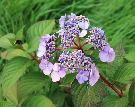 The soft purple hydrangea hid its little twigs in anticipation of the rain.