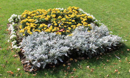 flower bed with yellow carnations and pale gray decorative grass in the city park