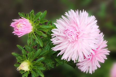 Pink asters invite friends to the ball. Asters flowers on an isolated background