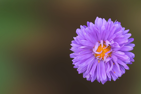 Astor shing little pale purple aster invites bees to pollinate 写真素材