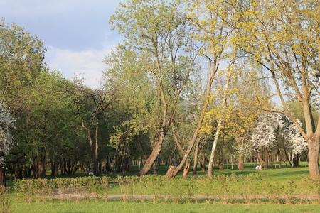 Spring foliage flaunts the sun in a city park. Spring landscape paints