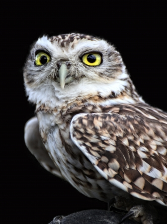 a large bird of prey: Spotted Owl