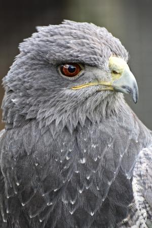 Black Chested Buzzard eagle photo