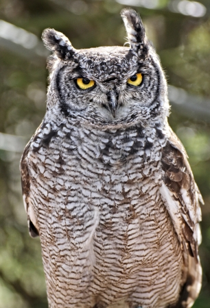animals horned: Great Horned Owl Stock Photo