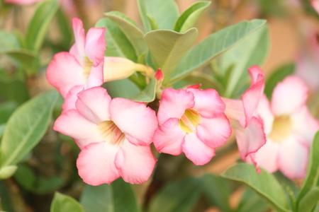 rose of the desert: desert rose
