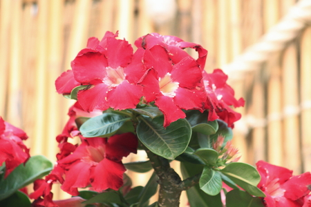 rose of the desert: DESERT ROSE Archivio Fotografico