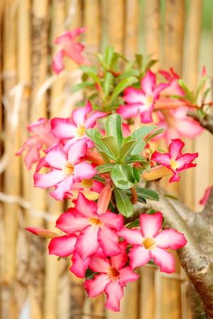 desert rose: desert rose