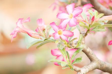 rose of the desert: rosa del deserto