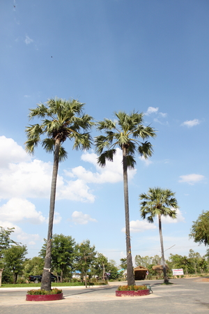 three palm trees: Three palm trees
