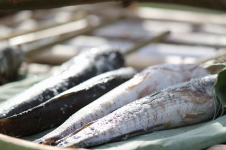 striped snakehead fish: striped snakehead fish Stock Photo