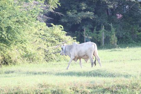 bullock: cow