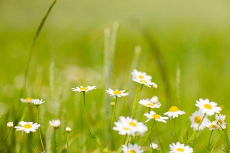 flores peque�as: peque�as flores de manzanilla  Foto de archivo