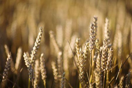 field of wheat Stock Photo - 3395827