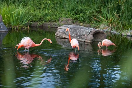 fluffy tuft: pink flamingo in the water