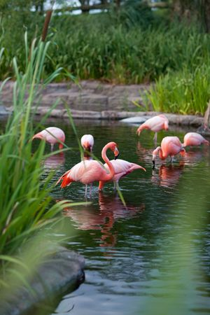 pink flamingo in the water photo