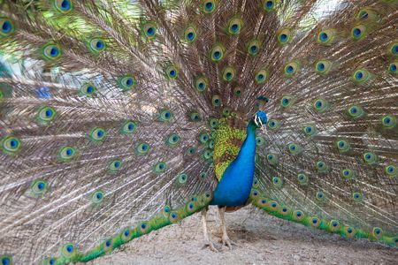 fluffy tuft: peacock with opened tail