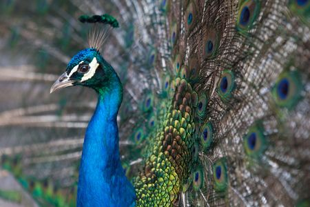 peacock with opened tail photo