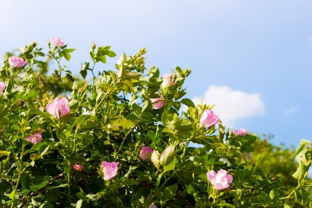 dogroses: background of dog-roses and sky Stock Photo