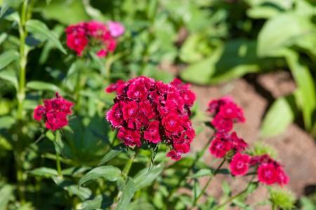 sunny flowers of beautiful wild carnation photo
