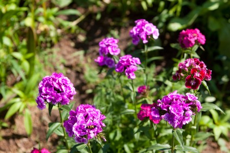 sunny flowers of beautiful wild carnation photo