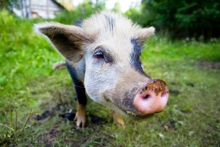 grunter: portrait of a pig