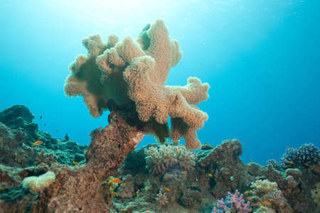 hardcoral: beautiful coral in sunlight and fish in the Red sea Stock Photo