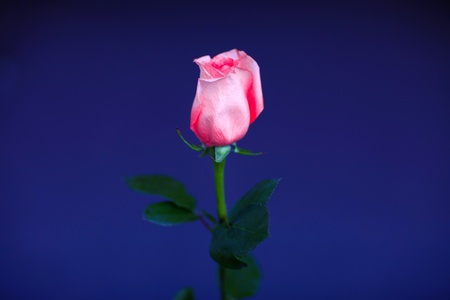 a beautiful rose by the wall photo