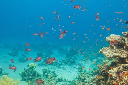 hardcoral: Scalefin anthias fish and corals in the Red sea