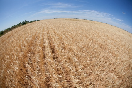 large field of wheat and blue sky photo