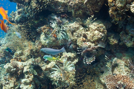 pterois volitans: Lion fish and corals in the Red sea