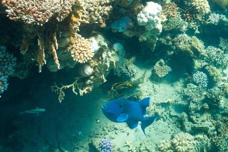 hardcoral: Big fish pseudobalistes fuscus in the sea
