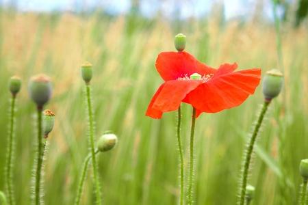 red poppy flower in the field photo