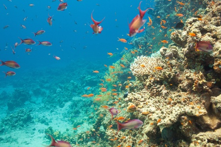 anthias fish: Scalefin anthias fish and corals in the Red sea