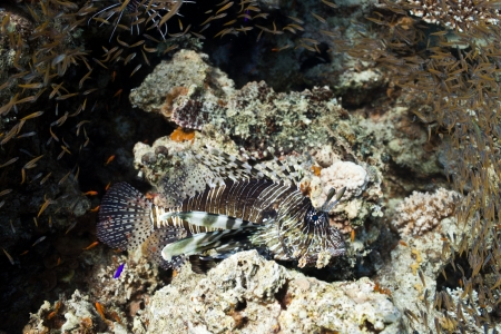 pterois volitans: Lion fish hunter small fishes in the Red sea Stock Photo