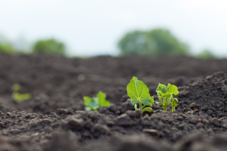 agriculture industry: new green sprouts growing Stock Photo