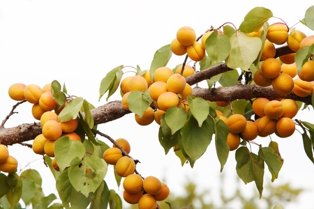 thee: branches of the thee with apricots