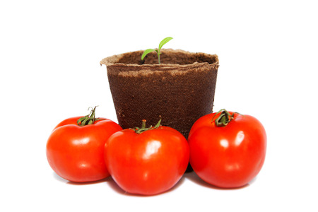 new sprout of tomato and the same vegetables photo