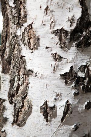 a birch bark photo