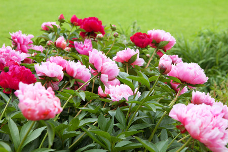 peonies on the green field in summer Stock Photo