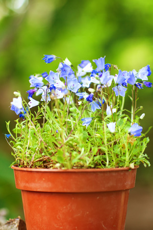 small blue flowers in the pot