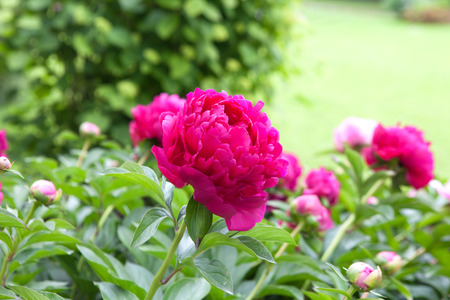 one peony on the bush