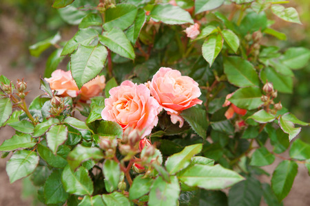two pink roses on the bush