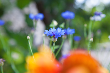 cornflowers on field