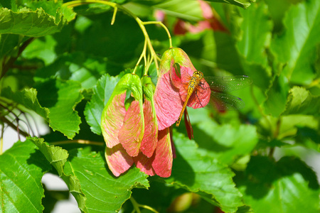 Dragonfly (Latin Odonata) sits on the seeds of the Red Maple (Latin Ácer rúbrum).