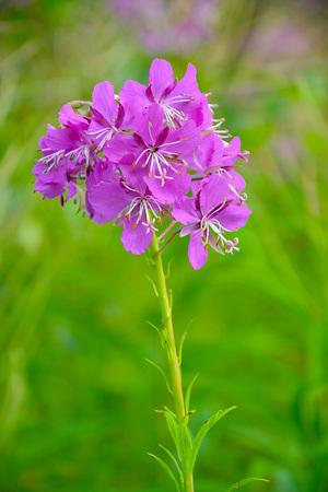 Flowers of medicinal herb Ivan tea (Latin Chamérion angustifolum). Stock Photo