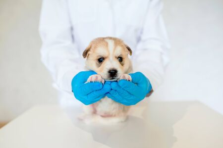 vet in blue gloves holds a small purebred puppy in a veterinary clinic on a light background