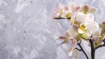 White-yellow orchid flowers on gray concrete background. Background, copy space Stockfoto