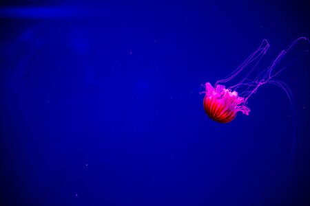 Jellyfish in an aquarium with blue dark water is highlighted with red neon. Abstract trendy background Banco de Imagens