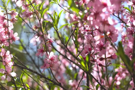 Pink flowering branches with green leaves and a bee.