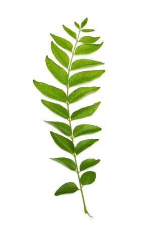 fresh curry leaves isolated on white background